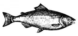 saumon_dessin